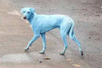 Despejo de resíduos sem tratamento em rio de Mumbai deixa cães azuis e fecha fábrica de corantes.